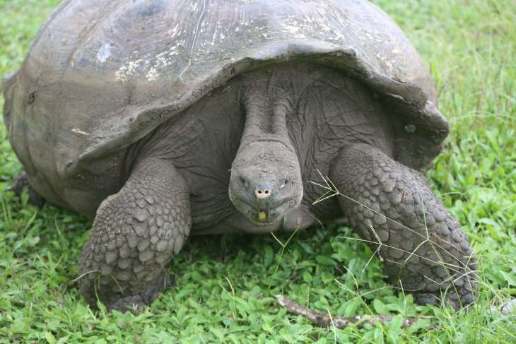 The Galapagos Giant tortoise, such as this one on Santa Cruz Island, can survive in different habitats, from dry lowlands to humid highlands.