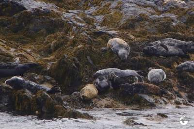 A Grey seal colony on Kitterland - a small rocky islet located between the mainland and the Calf of Man.