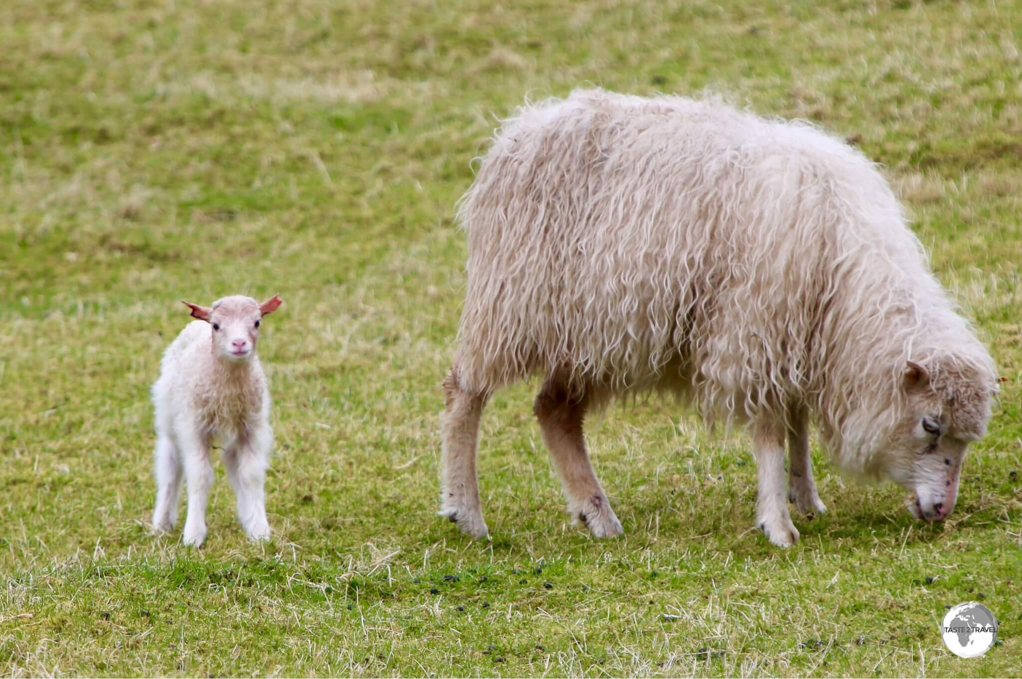 The name 'Faroe' is an old Norse word for 'Sheep' which are plentiful on the islands.