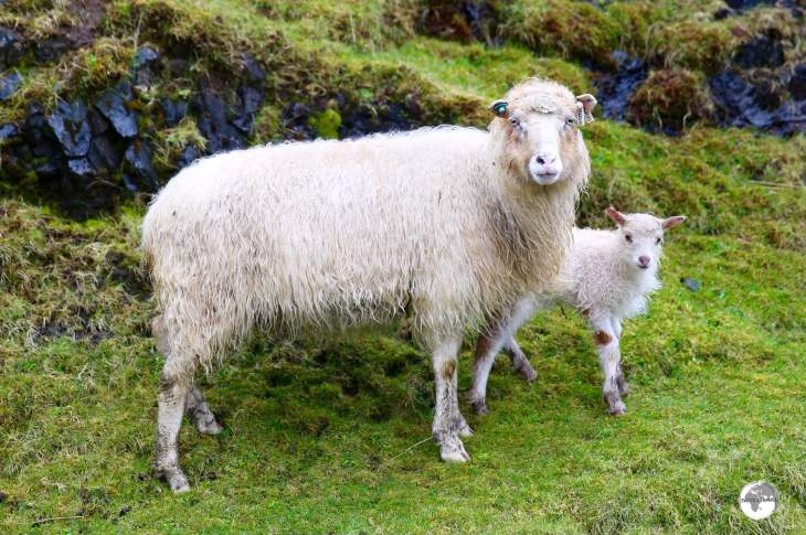 While they are so cute, they are also so tasty and many restaurant menus feature delicious Faroese 'free-range' sheep.