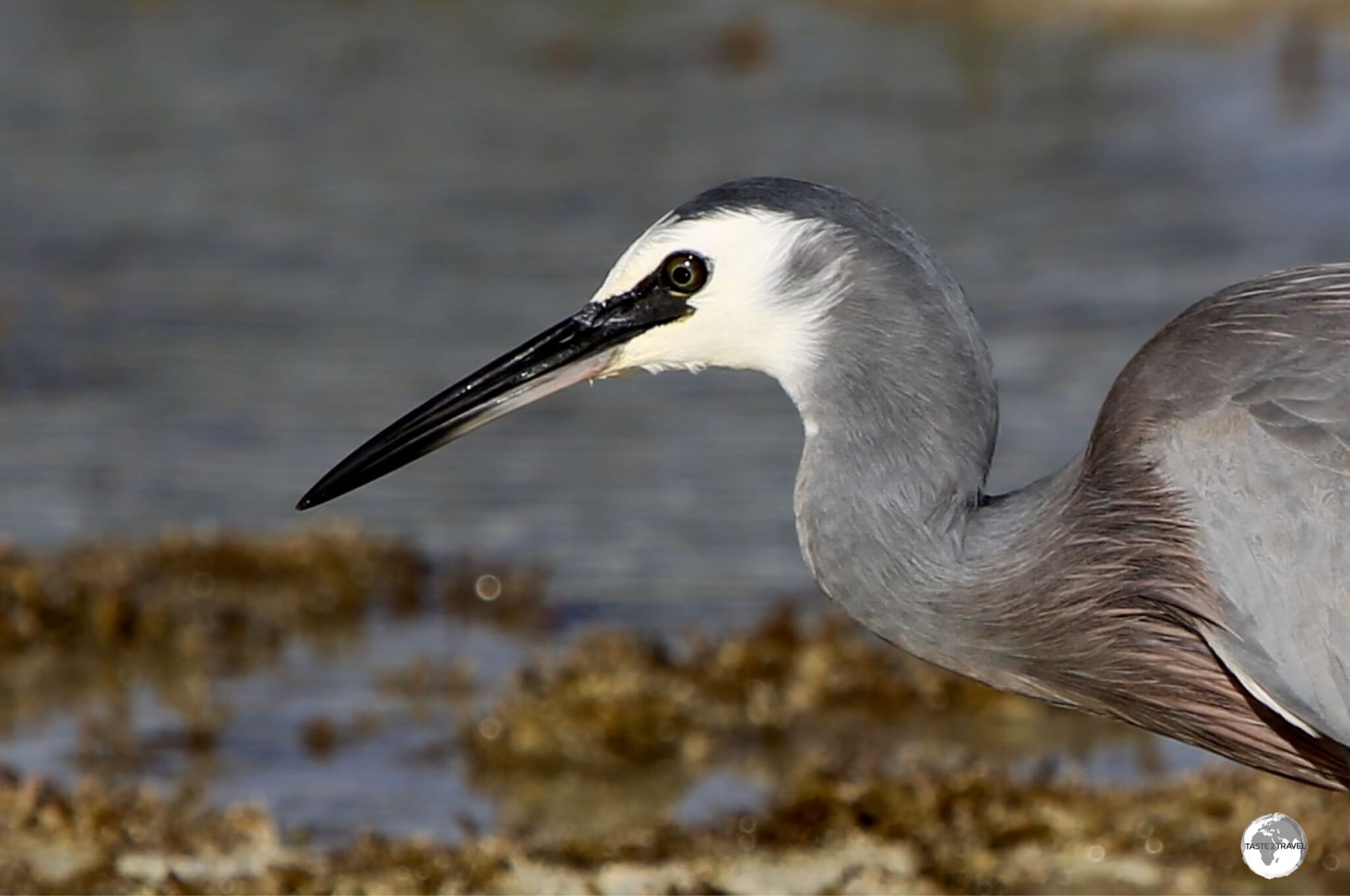 A White-faced Heron, fishing for a meal, on the Isle of Pines.