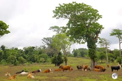 Happy, free-range cows on Éfaté.