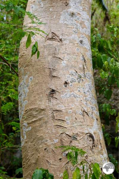 The light wood of the Sycamore tree is ideal for carving canoes. Locals on Lelepa island 'reserve' their tree by carving their names into the trunk.