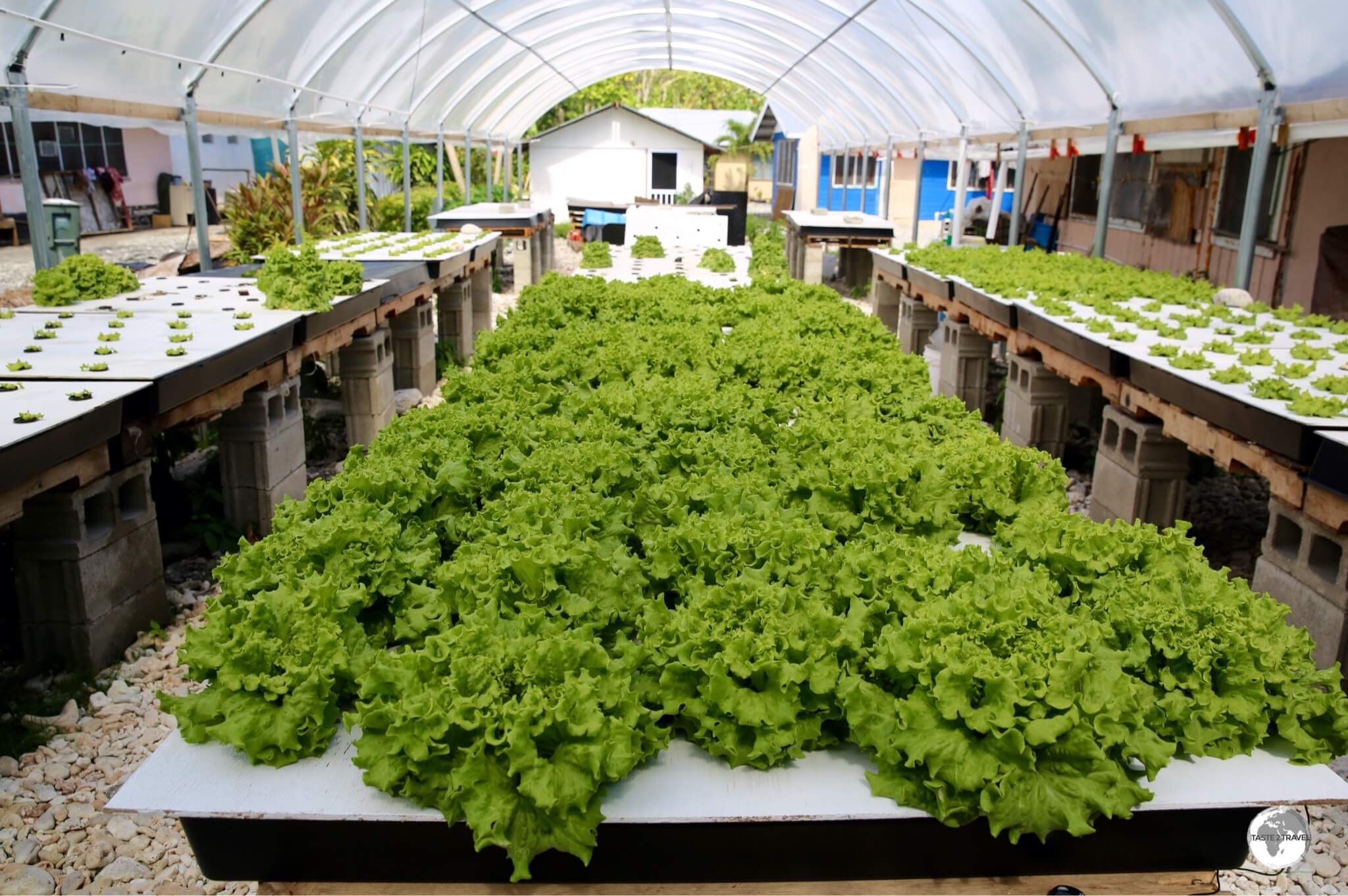 Lettuce being grown on Aunu'u island.