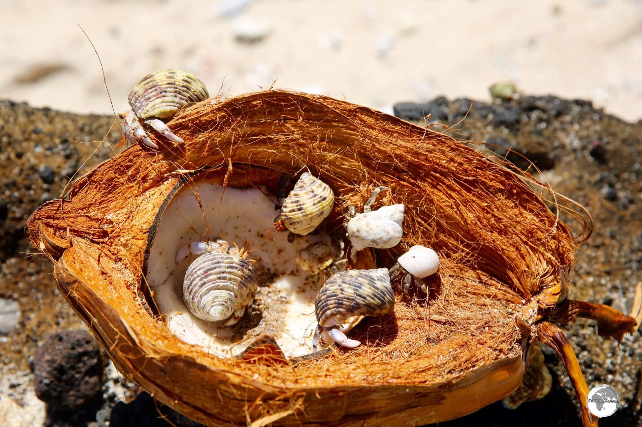 Hermit crabs having a party inside a coconut on an isolated beach on Ta'u.