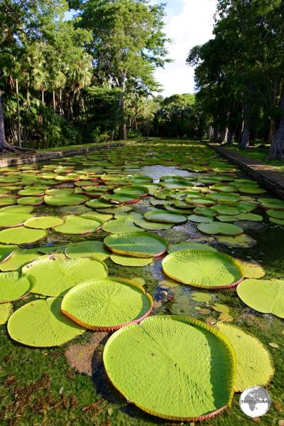 The giant 'Victoria amazonica' water lilies are a highlight of the Botanical Garden.