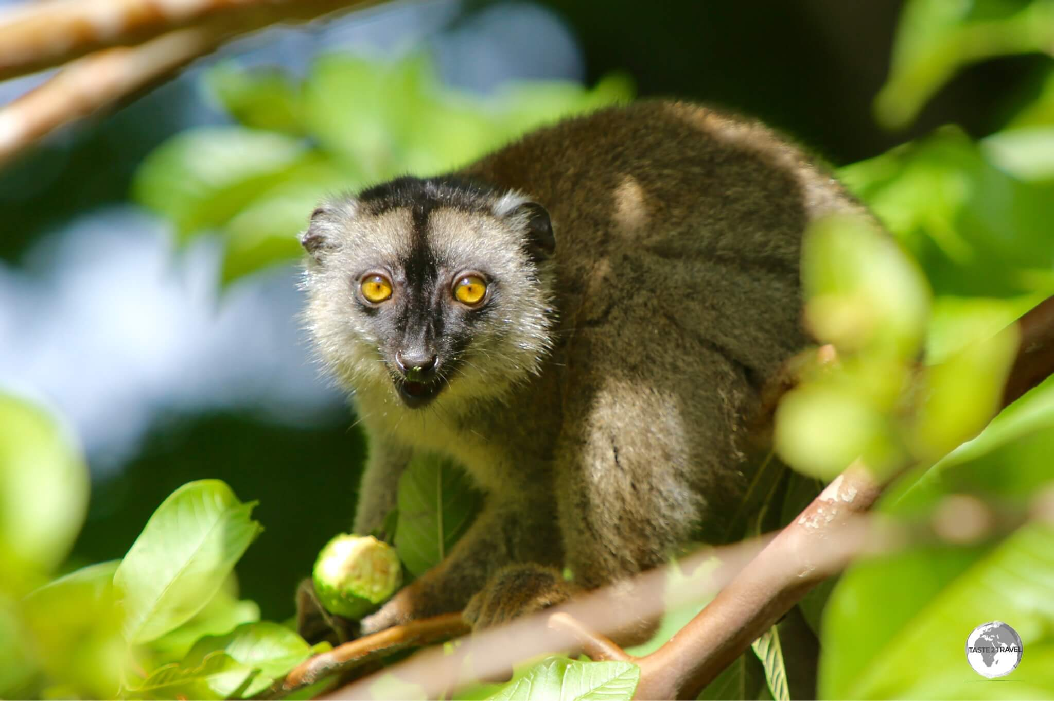Originally introduced from Madagascar, the Common Brown Lemur is widespread on Mayotte.