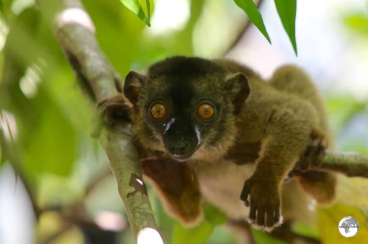 A juvenile Common Brown Lemur - even more inquisitive than the parents.