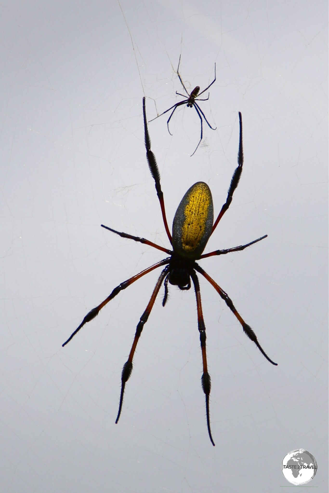 There are many more Nephila spiders in Hell-bourg than people. I kid you not!