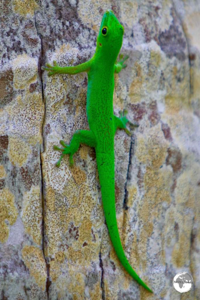 "The very handsome ""La Digue day gecko"", which is endemic to the Seychelles, can be found on L'Union Estate Farm."