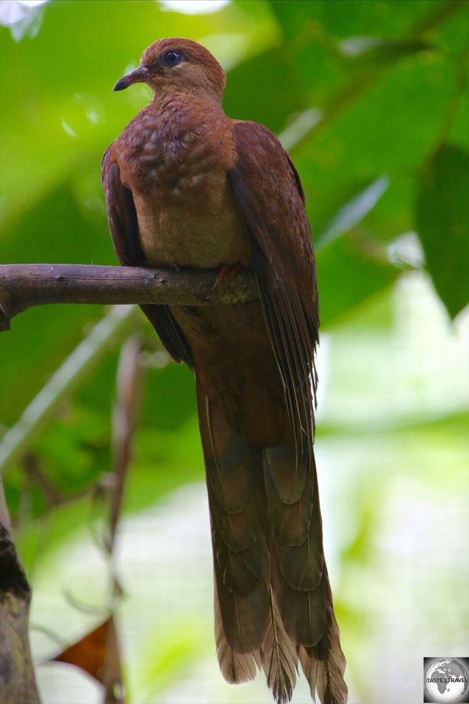 The Amboyna cuckoo-dove is native to PNG.