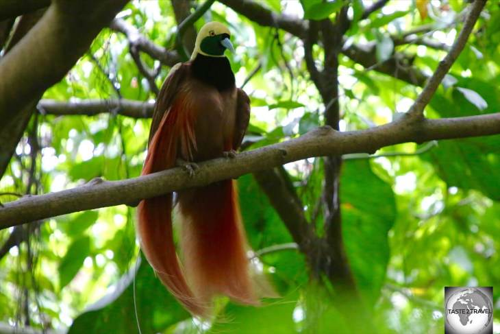 "The ""Raggiana Bird of Paradise"" is the national bird of Papua New Guinea."