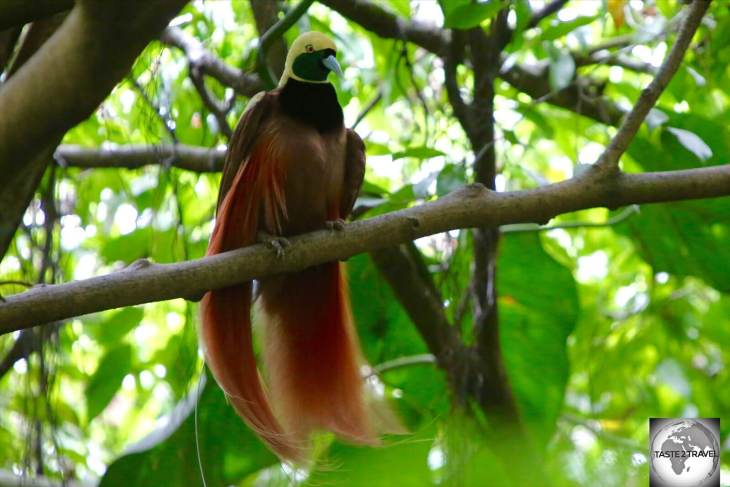 """The """"Raggiana Bird of Paradise"""" is the national bird of Papua New Guinea."""