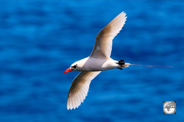 A soaring Red-tailed Tropicbird at the 100 Acres Reserve.