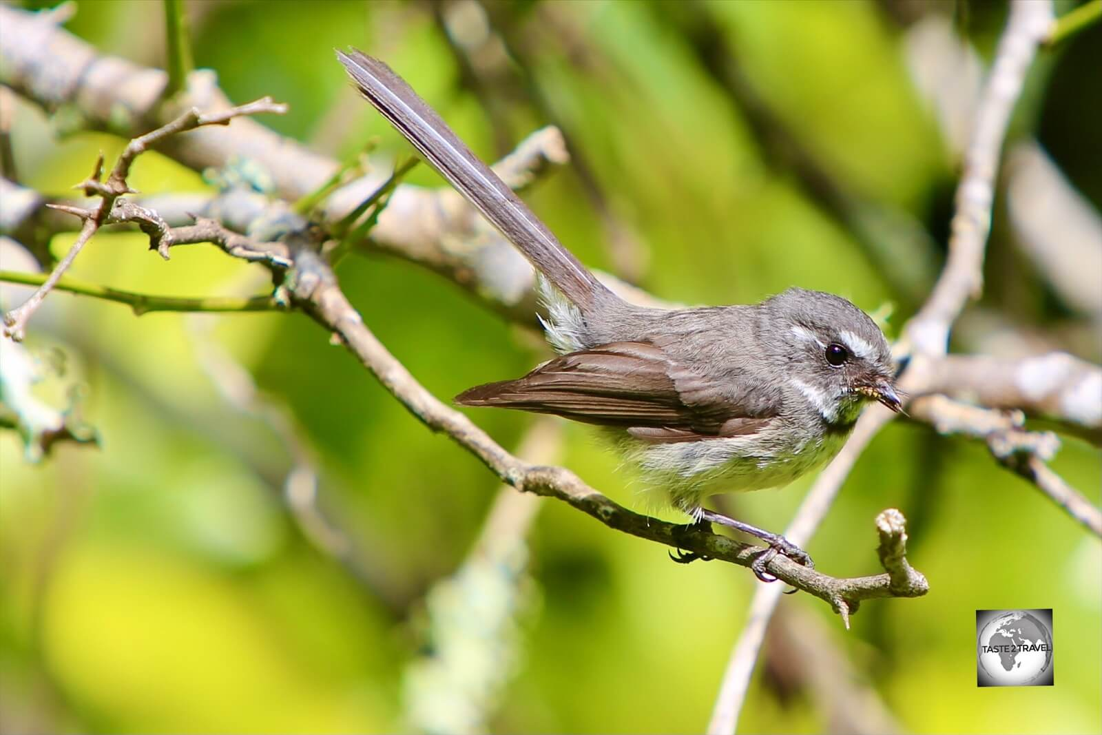 A Norfolk Island Grey Fantail on the Mount Bates hiking trail.