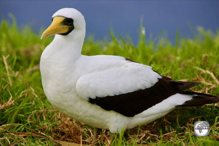 An adult Masked Booby on Norfolk Island.