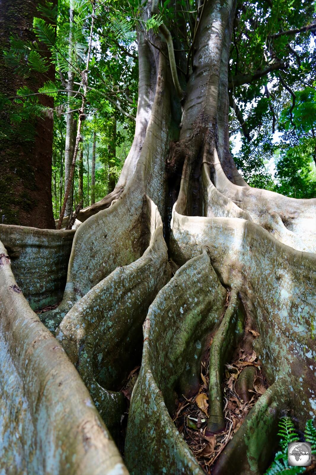 The 100 Acres reserve is home to some impressive flora, including a number of towering Moreton Bay figs.
