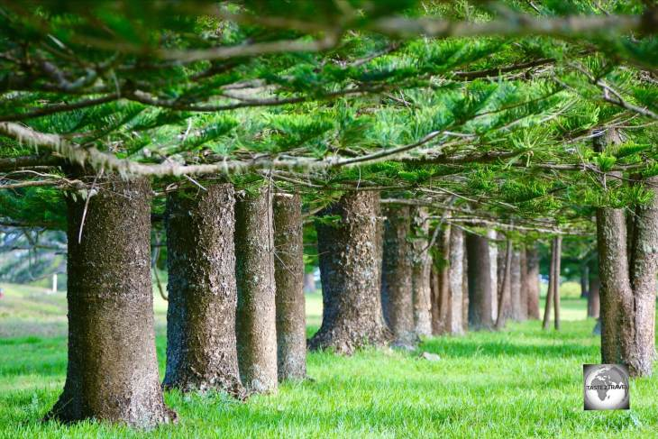 A row of trunks from an avenue of mature Norfolk Island pines at Puppy's Point.