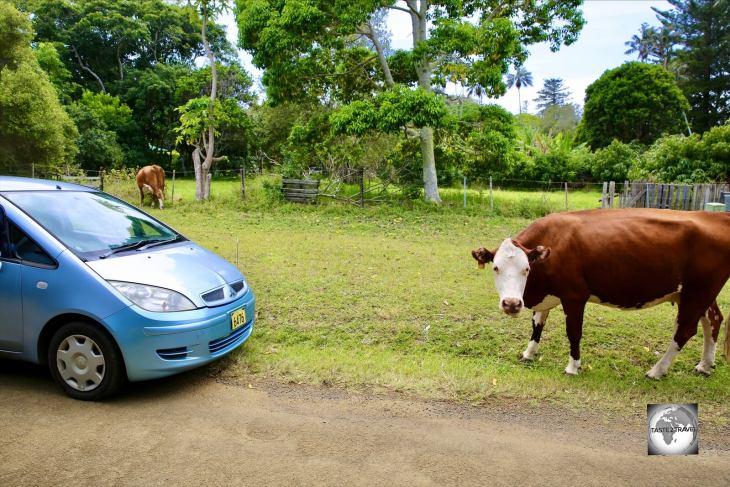 Cows grazing around my rental car on Norfolk Island.