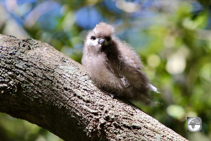 A White tern chick, clinging onto its branch for dear life, in the 100 Acres reserve.