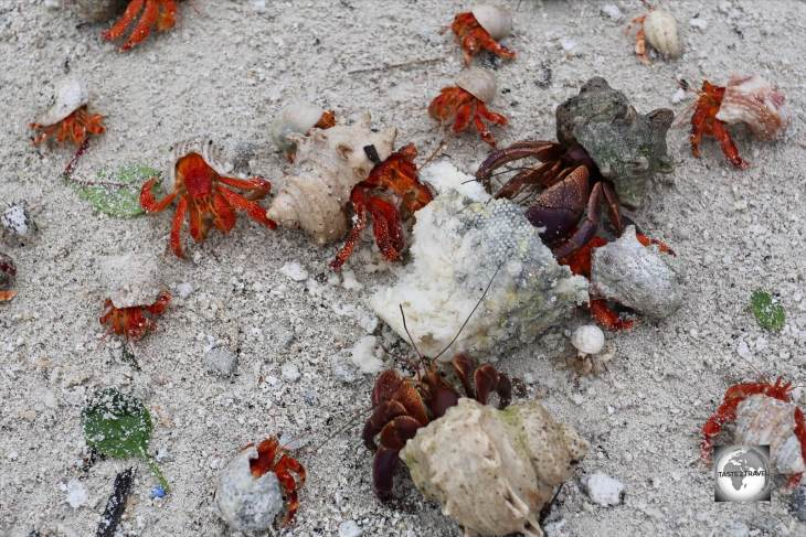 Red hermit crabs on South Island, competing with the much larger Purple hermit crabs for food scraps.