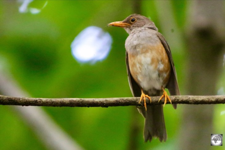 A sub-species of thrush, the Christmas Island Thrush is endemic to Christmas Island.