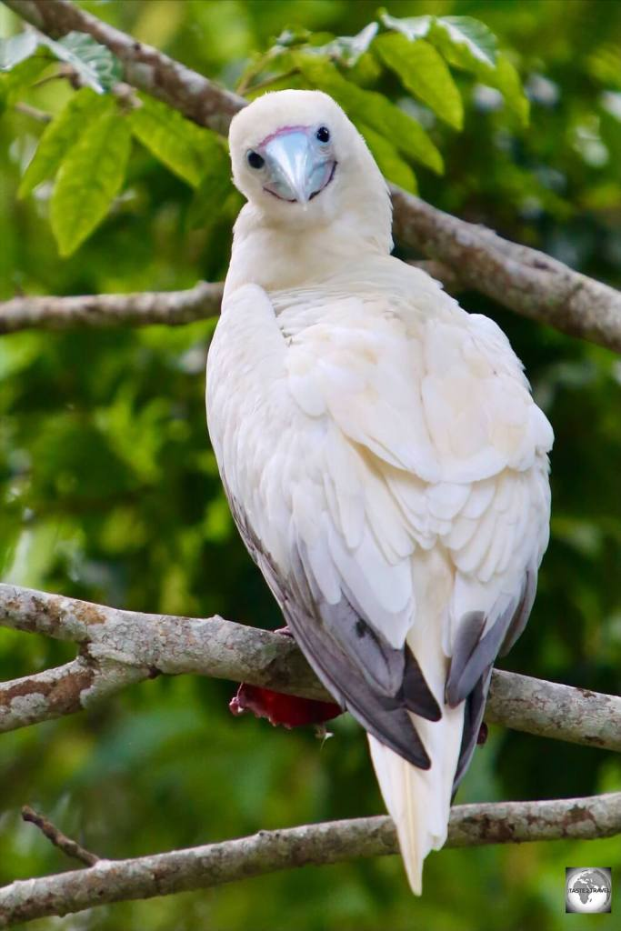 A curious Red-footed booby on Christmas Island.