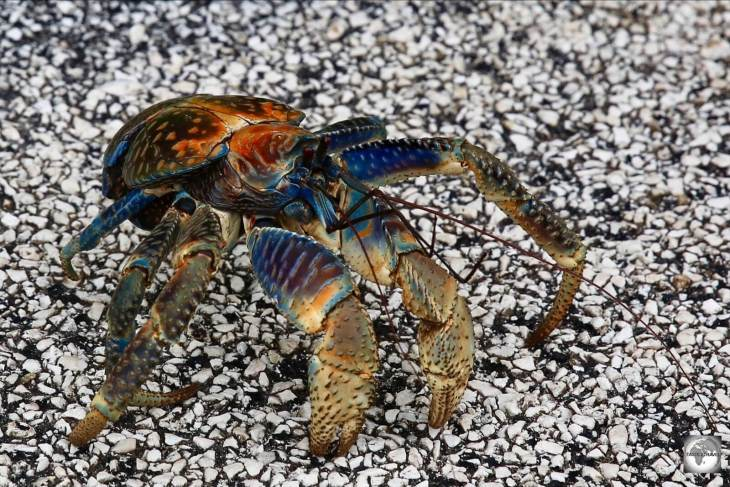 A robber crab on an asphalt road on Christmas Island. You always give way to these giants when they're crossing the road.