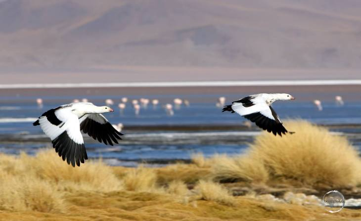 Andean geese, such as this pair flying over Laguna Colorada, inhabit the high-altitude lakes and marshes in the Andes, usually well above 3000 metres (9,800 ft).