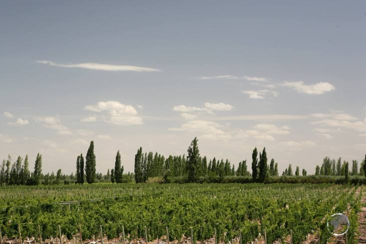 A view of a vineyard in Mendoza, the main wine producing region of Argentina.