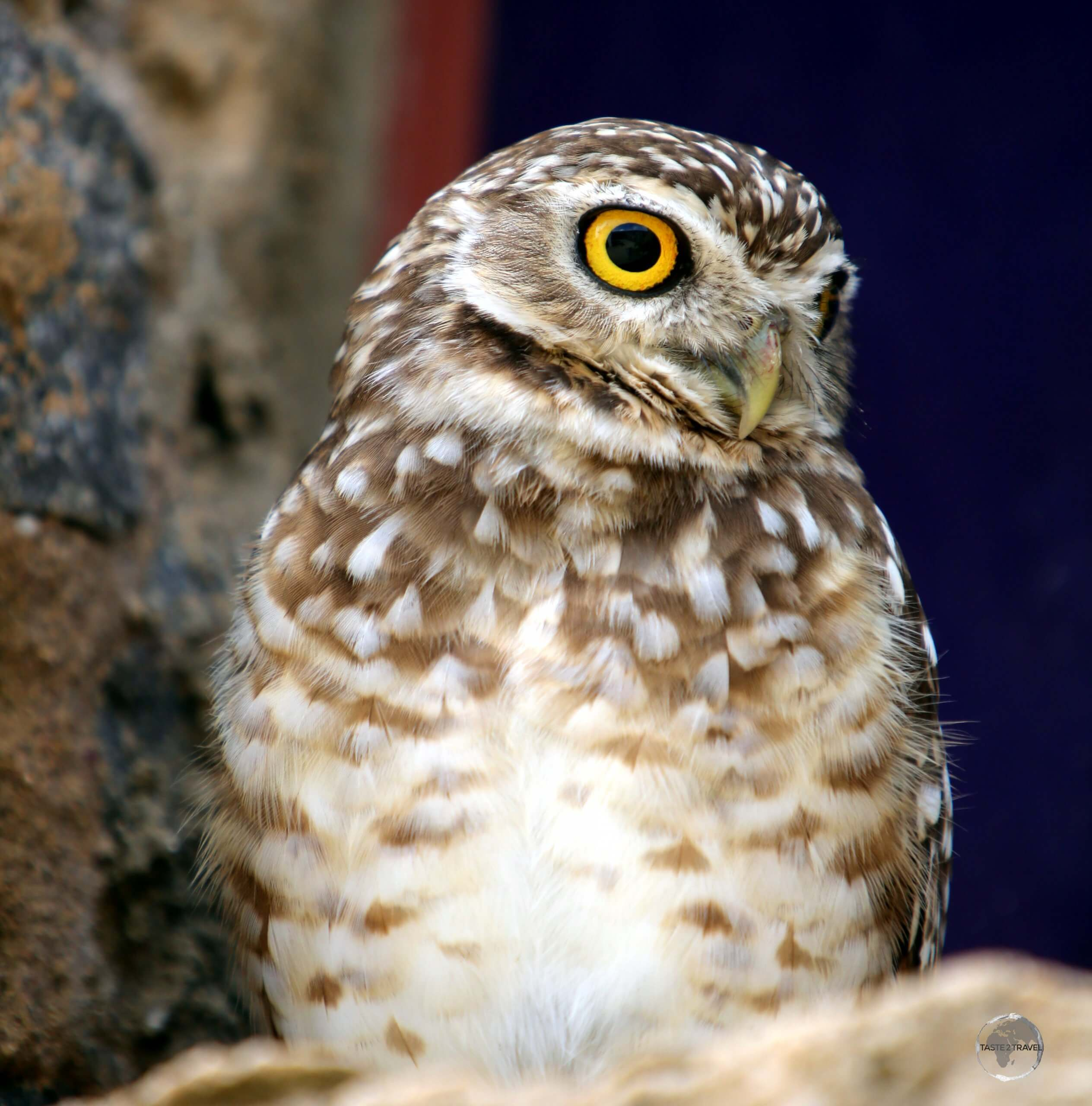 A Burrowing owl at Forte dos Reis Magos, a Portuguese fortress located in the city of Natal in the Brazilian state of Rio Grande do Norte.