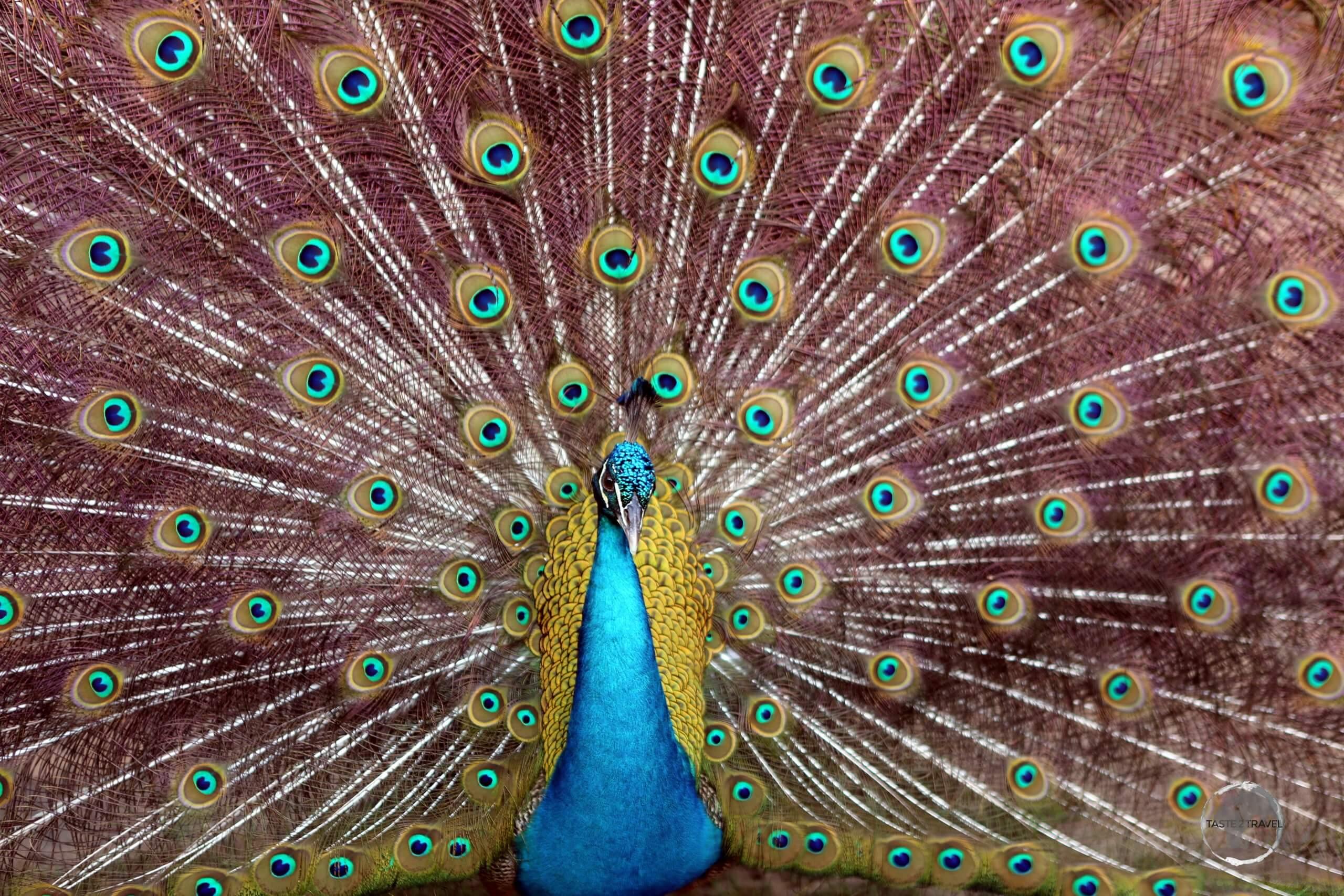 A peacock at Pipa Beach, a highlight of the Brazilian state of Rio Grande do Norte.