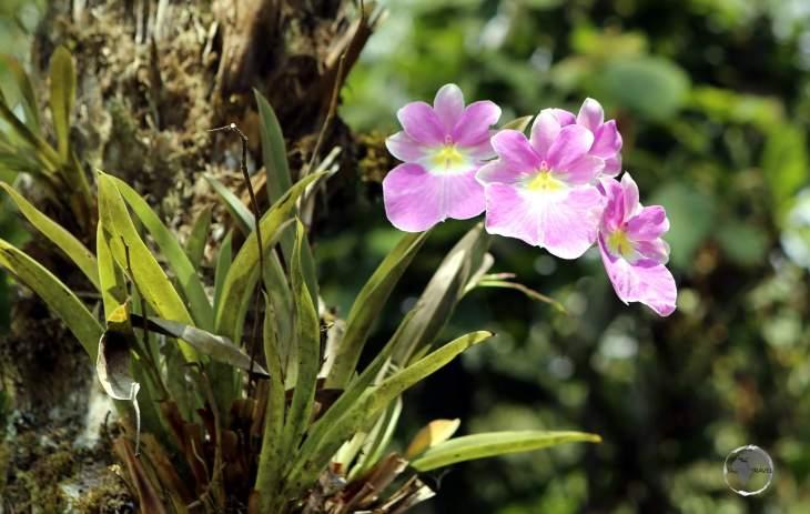 A Purple moth orchid in the garden of the 'Estelar Recinto Del Pensamiento Hotel' resort near Manizales, Colombia.