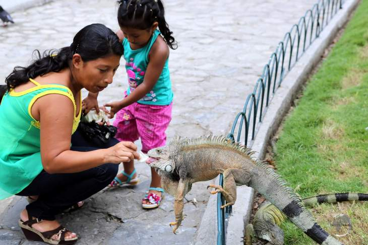 Located in downtown Guayaquil, Parque Seminario, colloquially known as 'Iguana Park' is home to a large number of land iguanas who roam its lawns and pathways, waiting to be fed by the locals.