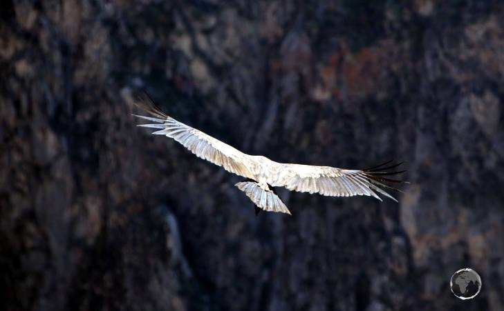 Being a member of the vulture family, the Andean Condor is primarily a scavenger, feeding on carrion. It prefers large carcasses, such as those of deer or cattle.