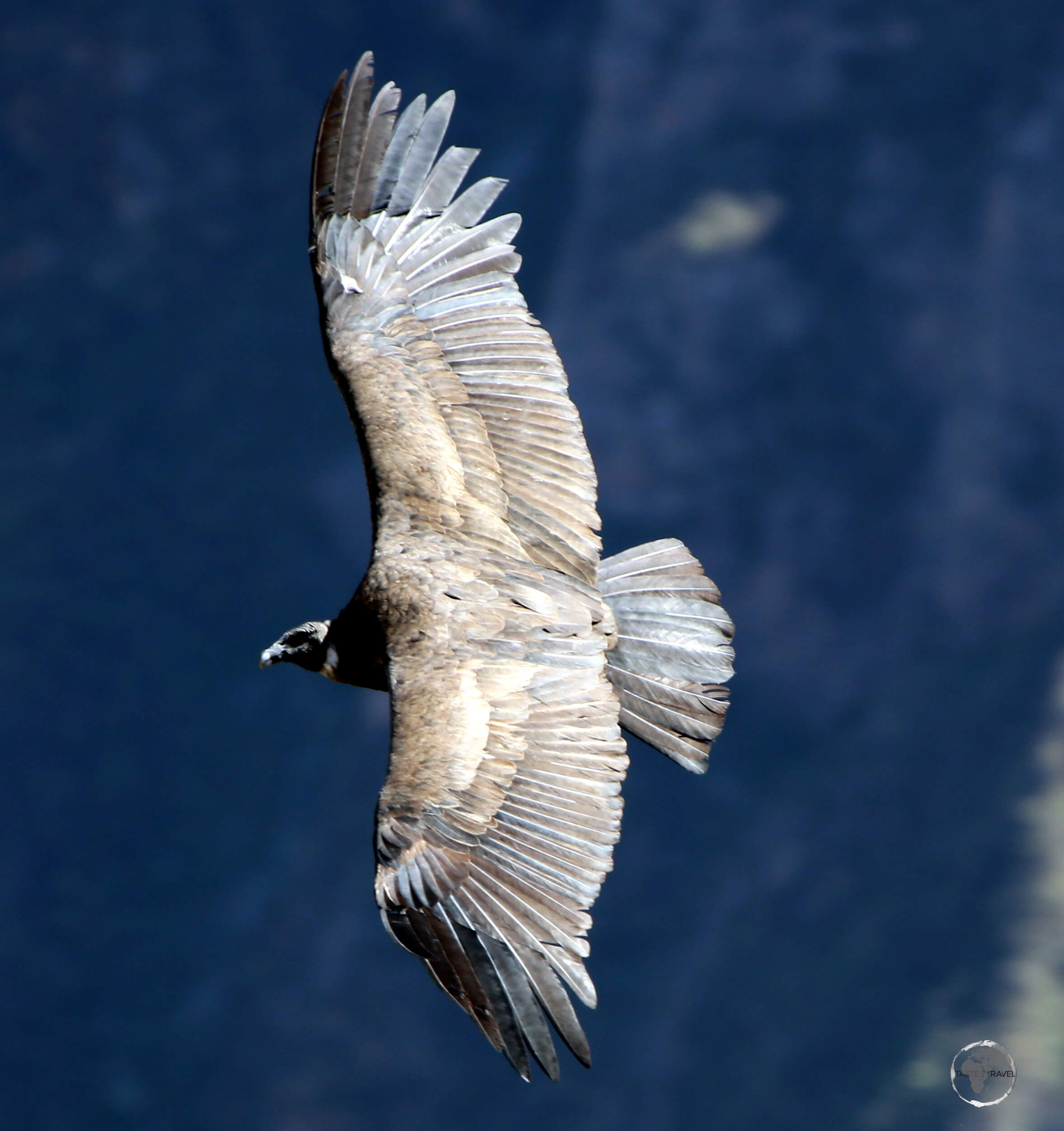 The Andean condor, seen here in the Colca canyon in southern Peru, is the largest flying bird in the world by combined measurement of weight and wingspan (3.3 m / 11 ft).