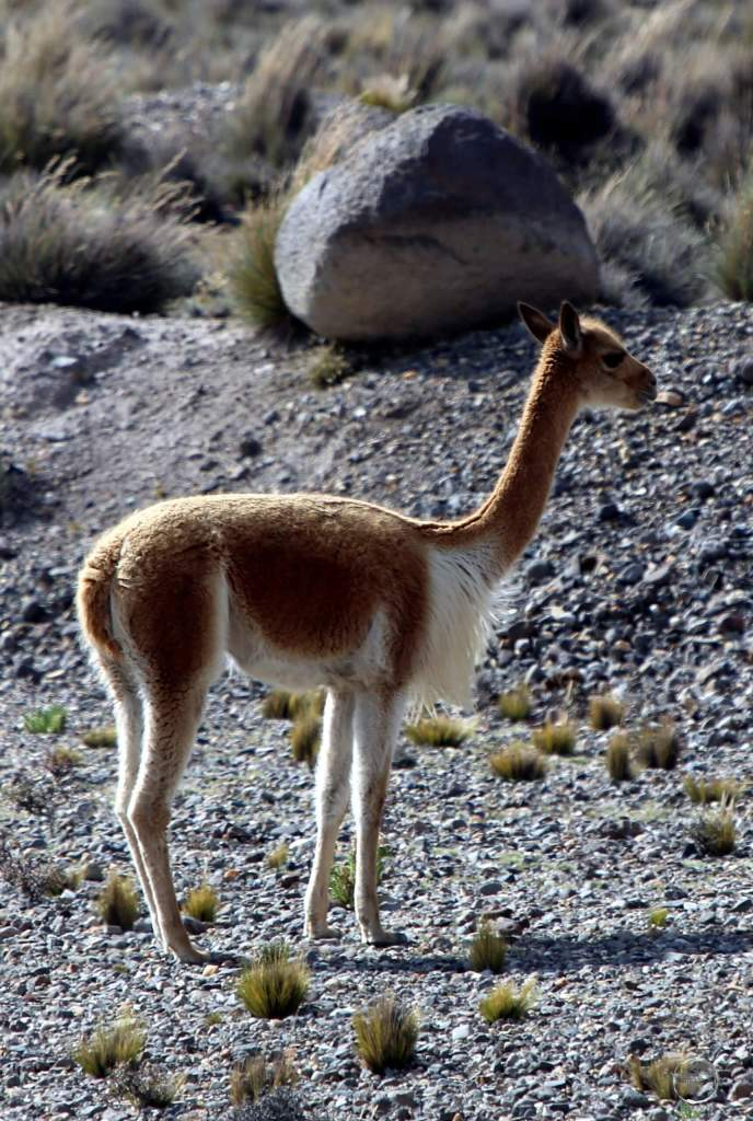 Vicuñas produce small amounts of extremely fine wool, which is very expensive because the animal can only be shorn every three years and has to be caught from the wild.