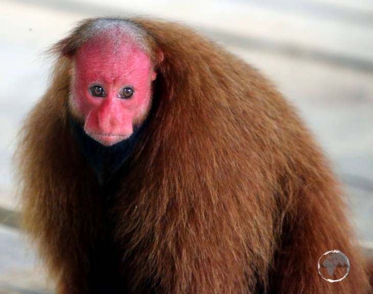 Red face of a Bald uakari monkey near Iquitos, Peru. All four species of Uakari are all found in the north-western Amazon basin.