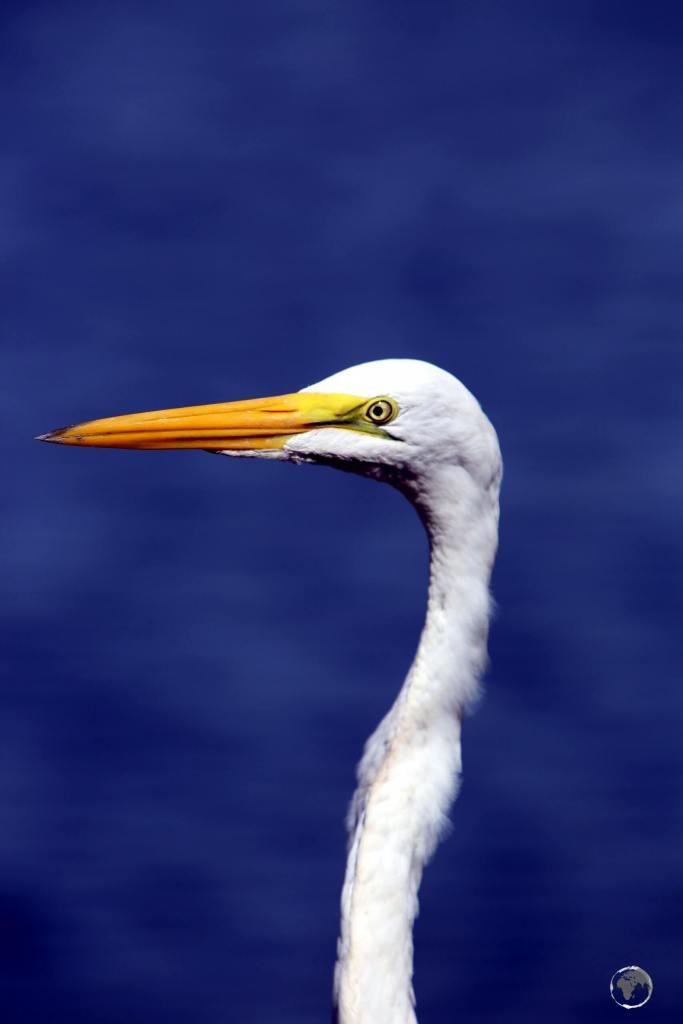 A majestic Great White Heron at the Marasha Nature Reserve in the Peruvian Amazon.