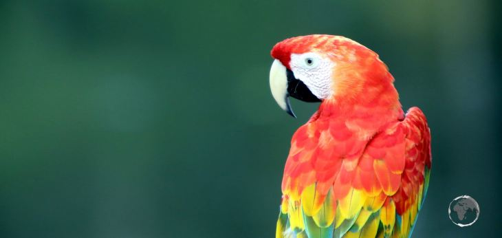 A Scarlet Macaw, the largest of all parrots, at Marasha Nature Reserve in the Peruvian Amazon.
