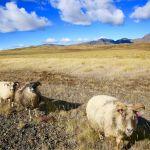 Often a road hazard - Icelandic sheep roam freely in Þingvellir National Park and all over the island.