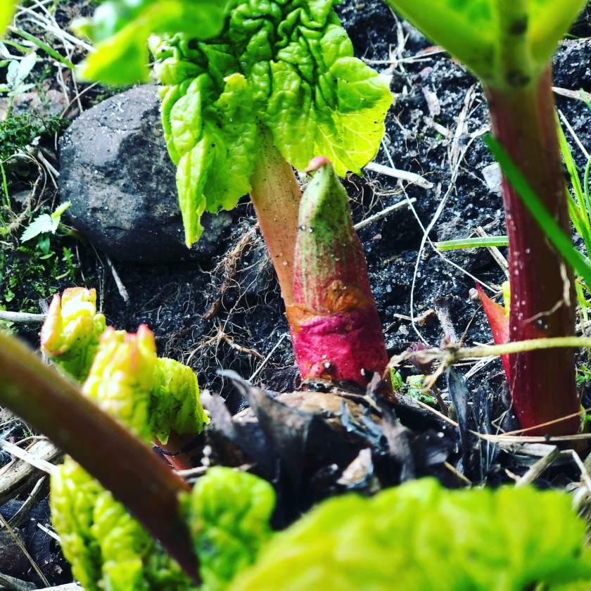 Rhubarb buds österlen.se