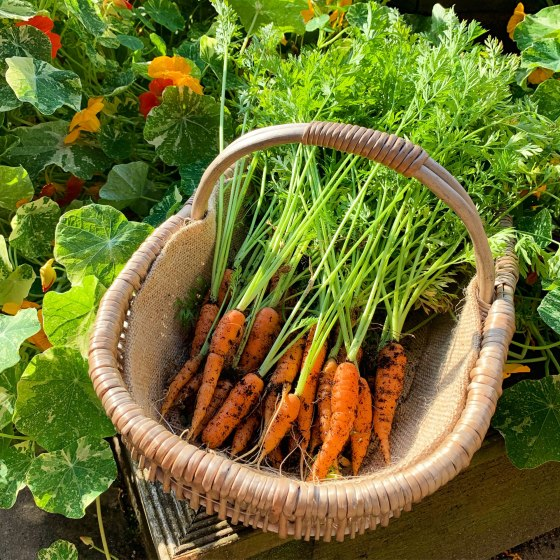 basket of home-grown carrots