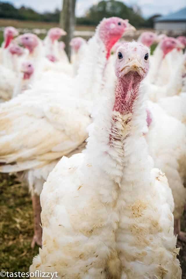 free range turkey farm