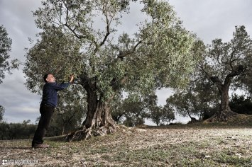 Local picking up olives