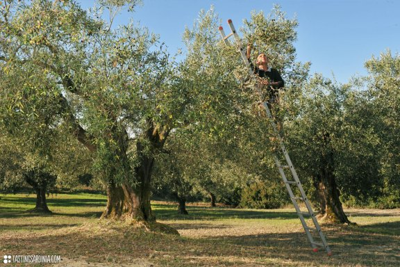 a local farmer picking up olives