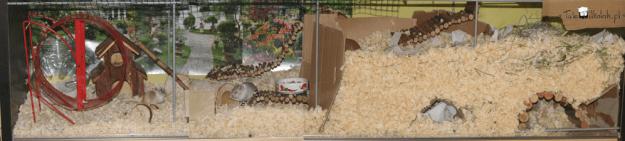 myszy-lokum
