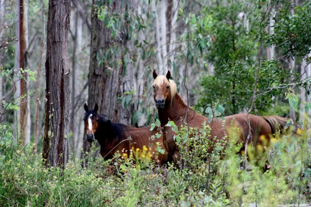 Claims of 14,000 brumbies in the Kosciuszko National Park are being disputed.