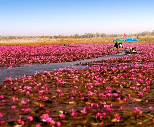 Thailand Culture and Festivals. Red Lotus Sea (500x413)
