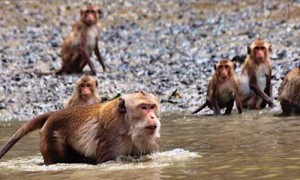 male-swimming-monkey